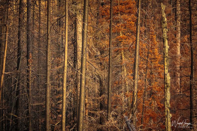 Sunset on burnt forest at Jasper